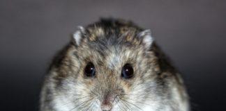 hamster 1627449095