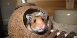 hamster 1627467305