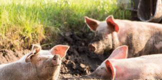 pigs 1627448290