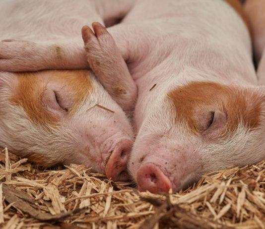pigs 1627468721